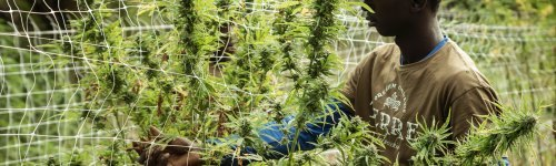 Cannabis harvesters and trimmers are responsible for taking care of the plant byproducts like hemp, bud, flower and harvesting them for sale. The audience in this list are interested in tools for efficient cannabis harvesting.